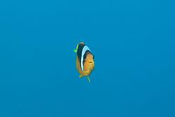 BD-150224-Ras-Mohammed-6666-Amphiprion-bicinctus.-Rüppell.-1830-[Twoband-anemonefish.-Tvåbandad-clownfisk].jpg